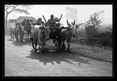 Journey (RahulEOS) Tags: deleteme5 deleteme deleteme2 deleteme3 deleteme6 deleteme7 saveme saveme2 bull farmer cart dm4 bullockcart bailgadi