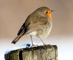 Winter Robin (Ger Bosma) Tags: winter snow cute bird robin europe erithacusrubecula feathers fluffy pole xa europeanrobin roodborstje rotkehlchen roodborst pettirosso passerine rougegorgefamilier petirrojoeuropeo mygearandmegold mygearandmeplatinum flickrstruereflection3 rememberthatmomentlevel4 rememberthatmomentlevel1 rememberthatmomentlevel2 rememberthatmomentlevel3 rememberthatmomentlevel7 rememberthatmomentlevel5 rememberthatmomentlevel6 birdofsong img69010afiltered 7gx
