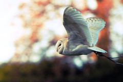 Owl. - Explored #16 (Hipwell Photography) Tags: autumn bird fall barn canon vintage soft dof bokeh depthoffield 7d owl pan panning warwick warwickshire birdofprey bif highiso warwickcastle canon7d