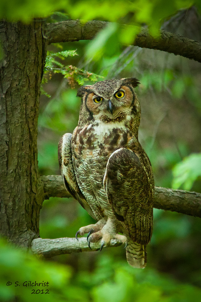 birds of canada and great horned Photo by: patrick connolly species: great horned owl scientific name:bubo virginianus status: common description: the great horned owl is one of ontario's most.