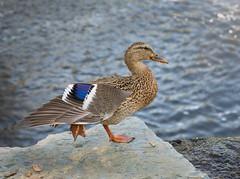 Stylin Duck