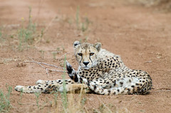 """Cheetah in Namibia • <a style=""""font-size:0.8em;"""" href=""""https://www.flickr.com/photos/21540187@N07/8291684687/"""" target=""""_blank"""">View on Flickr</a>"""