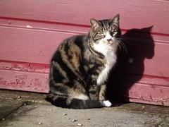 Random cat (kittenfarmer) Tags: cat pussy sunbathing hs10