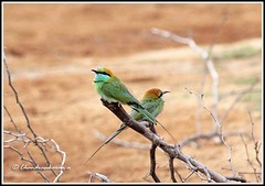 2682 -  bee-eaters (chandrasekaran a 546k + views .Thanks to visits) Tags: india nature birds tamilnadu kodikkarai tamron200500mm chestnutheadedbeeeater canon60d ptcalimere blinkagain