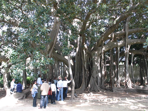 The largest tree of Europa, Ficus magnolioides