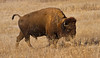 Showin' who's boss (Lindell Dillon) Tags: oklahoma buffalo wichitamountains bison americanbision lindelldillon