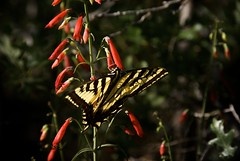 Wild Things (Reptilian_Sandwich) Tags: flowers red wild summer plants mountains newmexico macro green leaves yellow forest butterfly insect walking outdoors morninglight wings oak solitude shadows foliage solidarity swallowtail backlighting nectaring blackrange cresttrail79