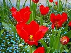 Colori della natura (Antomixdj) Tags: natura fiori svizzera colori giardino papaveri locarnoticino