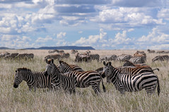 Zebras1 (calmado_at) Tags: animal wildlife zebra tansania afrikas sergengeti