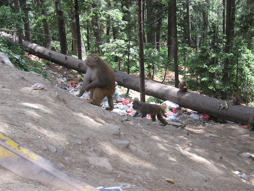 Monkeys playing and garbage thrown by tourists in Ayubia National Park.