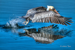 Reflecting (5099-1)  EXPLORE #37, 1-4-13  THANK YOU ALL (Ashala Tylor Images) Tags: blue reflection bird pelicans water reflecting fly wings birding flight feathers huntingtonbeach brownpelican bolsachica ashalatylor ashalatylorcom