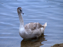 Cygnet at Thrupp Lake (Maggie @ Abingdon) Tags: winter swan cygnet radleylakes thrupplake earthtrust