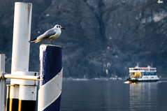 il Guardiano (Gian Matteo) Tags: sunset mountain lake water ferry montagne lago eau tramonto seagull lac pole mooring bellagio poteau lakecomo acqua palo montagna guardian gabbiano mouette coucherdesoleil guardiano lagodicomo traghetto tuteur amarrage attracco lacdecme