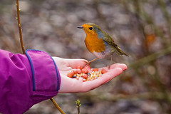 """Day 12/365-When Hunger Takes Over-12 Jan 2013 (Martyn Gill - IMAGES -731,000 Views - Thank You...) Tags: uk bird nature robin canon 350d birdseed hand feeding charlotte leeds nuts goldenacrepark westyorkshire """"flickraward"""" mygearandme yahoo:yourpictures=nature martyngillphotography2013"""