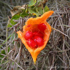 Seed Pod (Valrico Shooter) Tags: plant macro vine marsh seedpod wetland circlebbarpreserve nikonp510