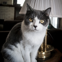 Macduff (.:Chelsea Dagger:.) Tags: ohio cat cleveland clevelandohio scottishfold chelseadagger chelseakaliwhatever cmckeephotography chelseamckee