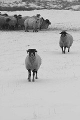 Guarding the perimeter (The Rural Eye) Tags: camera winter food snow mountains west eye english wool rural newcastle landscape photography james photo spring buxton university photographer shropshire sheep cheshire image farm district derbyshire traditional hill farming flock north under january archive picture culture photojournalism documentary peak william meat professional lee land chop lamb production farms british humphrey farmer ba tradition agriculture inspirational blizzard baa staffordshire herd hughes mutton journalism lyme degree freelance midlands woolly spender ovine 2013 ravilious leewilliamhughescom