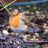 Robin (*ian*) Tags: winter red bird nature robin animal garden square erithacusrubecula wildlife feather perched favourite europeanrobin avian feathered robinredbreast bigemrg mygearandme
