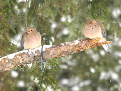 Love birds . . . (Dr. Farnsworth) Tags: winter two snow cold birds mi early pair feathers mourningdoves fernridge fluffed january2013