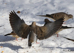 Mourning Doves (Diane Marshman) Tags: winter white snow black bird spread mourning dove gray flight wing feathers tan spots in