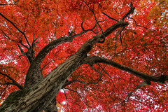 Tree of Life (arcreyes [-ratamahatta-]) Tags: autumn red tree japan kyoto colorful branches momiji treeoflife 2012 redleaves kyotoprefecture tenryujitemple agustinrafaelcreyes