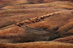 Bison in the Evening, South Dakota (JC Richardson) Tags: nature grass landscape buffalo nikon hills telephoto prairie bison grassland nationalgeographic greatplains jimrichardson