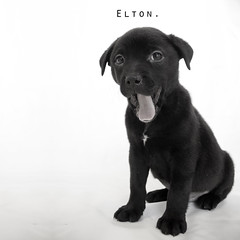Elton the 8 week old Black Labrador mix (Immature Animals) Tags: rescue baby black animal animals tongue puppy happy mutt mix lab labrador tucson marshall pima derek bark immature elton pound koalition pacc derekmarshall barktucson immatureanimals immatureanimalscom backpacc