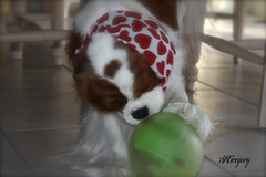 "Elvis Is All ""Hearts""  When He Plays With His Ball (akgregory26) Tags: hearts elvis cavalier greenball lovelyflickr hiddentreatinside reallylovestoplaywithit"