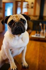 Pug's eyes (somazeon) Tags: japan lumix panasonic  tottori  m43