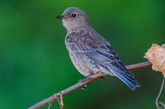 Western Bluebird (Immature) (Gilbert Tayag) Tags: bird bluebird bokeh nature wildlife nikond7000 tamron150600mm