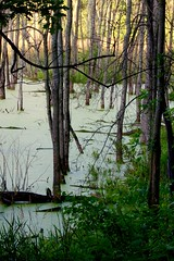 Silent Glow of the Swamp (dbarcus1) Tags: stillness morning glow moss swamp