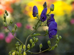 Be the change that you wish to see in the world.  Mahatma Gandhi (NaturewithMar) Tags: flower plant bokeh monkshood