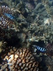 Stripy blue fish Fitzroy Island (dracophylla) Tags: fitzroyisland greatbarrierreef queensland australia