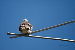 Voladizo (Roberto Segura) Tags: tortola inca dove columbina bird birding birdwatching birds costarica pentax pentaxart ks2