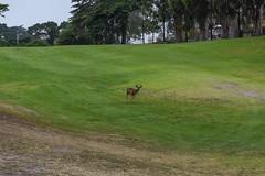 Monterey/Big Sur/Pismo Beach (_esgee_) Tags: monterey california golfcourse deer pacificgrove