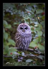 Barred Owl (the_coprolite) Tags: barredowl coquitlam portcoquitlam bc britishcolumbia hoycreek lafargelake canada nikon d750 sigma 150600mm
