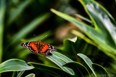 Anartia amathea, brown peacock or scarlet peacock (DiDaDoDeborah) Tags: butterfly butterflies vlinder vlinders vlindorado insect flickrinsects closeupinsect bestinsect anartia amathea brown peacock scarlet