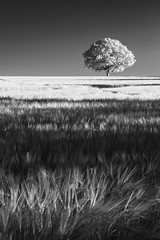 Somewhere in Norfolk 22_07_2016 (Matthew Dartford) Tags: infraredphotography bw eastanglia blackandwhite branch branches forest infrared ir leaf leaves lone mono monochrome tree woodland