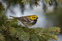 Black-throated Green Warbler (Joe Branco) Tags: nikon nikond500 warblers warbler lightroomcc2015 photoshopcc20155 pinetrees trees ontario canada birds wildlife nature songbirds branco joe joebrancophotography blackthroatedgreenwarbler green