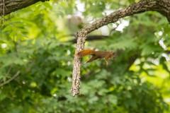 7K8A3831 (rpealit) Tags: scenery wildlife nature east hatchery alumni field hackettstown red squirrel