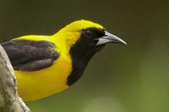 Hi! (PriscillaBurcher) Tags: icteruschrysater yellowbackedoriole turpialmontaero icteridae avesdecolombia birdsfromcolombia dsc8918 coth5 ngc