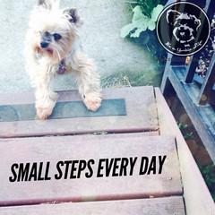 You can do it! (itsayorkielife) Tags: yorkiememe yorkie yorkshireterrier quote