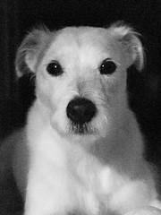 Portrait  Crop (Van Allen Belt) Tags: dog jackrussellterrier jackrussell olympus ep2 pen 17mm f18 manualfocus