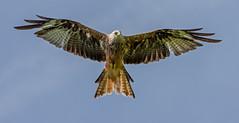 DSC6661 Red Kite.. (jefflack Wildlife&Nature) Tags: redkite kite kites birds avian wildlife wildbirds farmland moorland countryside raptors birdsofprey nature ngc npc