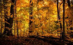 Autumn Gold (Jenny Pics) Tags: gold golden trees autumn fall yellow orange lighting silhouettes glow ontario canada