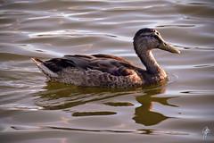 Attitude [Explored] (jcdriftwood) Tags: attitude duck mallard femalemallard confidence swim water lake reservoir