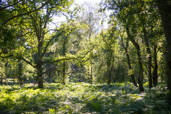 Awakening the forest (OR_U) Tags: 2016 oru uk langleywood langleywoodnationalnaturere forest green oak trees fern nature serene magic langleywoodnationalnaturereserve