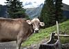 (Eligiusz_Lesniak) Tags: höllensteinhütte kuh alpenkuh berge hintertuxergletscher tux juns canon6d
