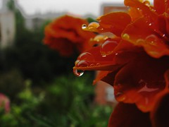 by rain (Marinyu..) Tags: orange tageteserecta bdske brsonyvirg fooddyes droplets escsepp virg flower mybalkony macro telsznezk reflection visszatkrzds inimitable moments