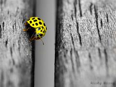 _DSC0330-2 (niko299) Tags: coccinelle sigma105macrof28 jaune yellow dsatur d5100 nikon macro insecte